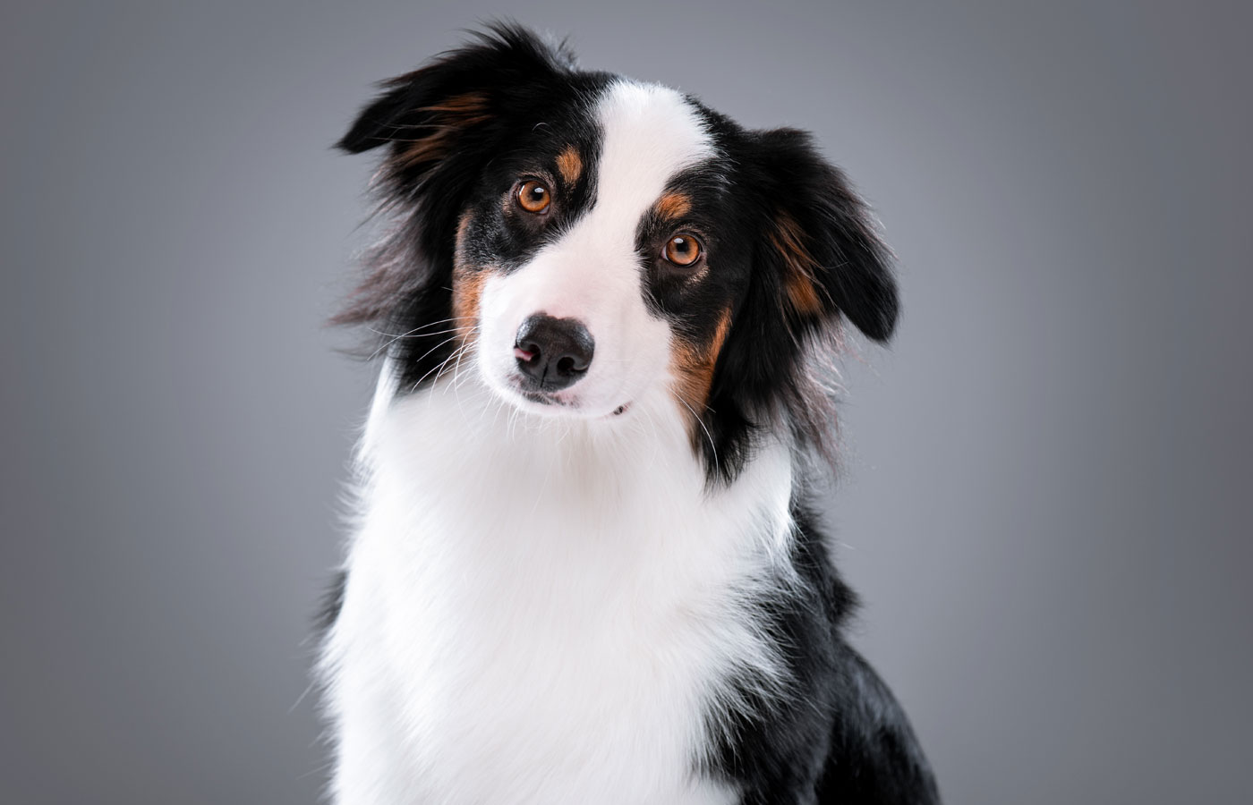 Close up portrait of cute young Australian Shepherd dog on gray background. Beautiful adult Aussie,